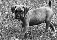 Boerboel (Luiz Romano) Tags: boerboel cão grandeporte cachorro pet cãodefazenda cãodeguarda cãoboiadeiro raça molosso animal filhote cachorrinho perro dog sobaca chien