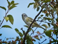 Blue-headed vireo (Goggla) Tags: governorsisland blueheaded vireo nyc new york urban wildlife bird fall migration 2019