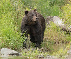 850_1454 Out of the Grass (Wayne Duke 76) Tags: bear grizzly fur grass river