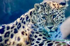On the brink.... (fionarosegunn) Tags: conservation endangered twycrosszoo twycross bigcat amurleopard leopard