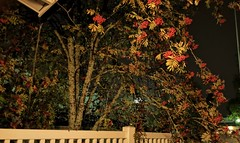 IMG_20191001_043251 (www.ilkkajukarainen.fi) Tags: night yö pihlaja raining sataa sade visit travel travelling happy life line 2019 pihlajanmarja suomi finland finlande eu europa scandinavia rowan berrie garden puutarha light low valo aita athmosphere october