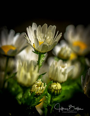 Daisy Blossoms after rain (Jeffrey Balfus (thx for 5.9M views)) Tags: ilce7m3 sonya7iii sonyalpha flowers saratoga california unitedstates sel90m28g 90mmf28macrogosslens dof wait macro