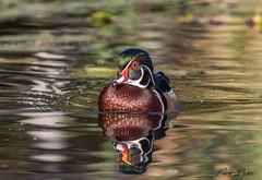 Canard branchu (mâle) - Wood Duck (male) (Lucie.Pepin1) Tags: birds oiseaux canard brancu woodduck eau water nature wildlife faune fauna luciepepin canon7dmarkii canon300mml