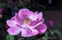 Rosa pendulina L. (Luis FrancoR) Tags: rosapendulinal flores flower jardinbotanicobogota rosa macro ng ngd ngc ngg ngm ngo ngs ngw nikonistas nikon60mm28 nikon nikond600 nikonflickraward nikonbest luisfrancor luisfrancorebgmailcom bogotá