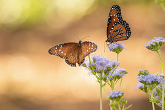 Two queen butterflies (Stephen G Nelson) Tags: insect butterfly queenbutterfly desert milkweed tucson arizona canoneosrebelsl1100d