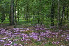 Clairière fleurie (balese13) Tags: canon chenonceau cher s3is vendée yourbestoftoday arbres clairière fleur flower green parc powershot sousbois balese 500v20f 1000v40f 1500v60f
