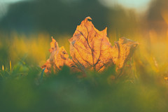 Glow (Sarah Rausch) Tags: sony 50mm 18 depth autumn fall backlight crazytuesday hct glow leaf bokeh