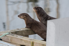 """Sittin' on the dock of the bay....."" (Tim Melling) Tags: lontra canadensis north american river otters vancouver island canada timmelling"
