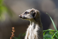 Slender tailed meerkat (Suricata suricatta) - Paignton Zoo, Devon - Sept 2019 (Dis da fi we) Tags: paignton zoo devon suricata suricatta slender tailed meerkat