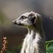Slender tailed meerkat (Suricata suricatta) - Paignton Zoo, Devon - Sept 2019