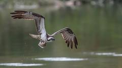 Osprey  0195 (Paul McGoveran) Tags: bif bird birdinflight hendrievalley nature nikon500mmf4 nikond500 nikond850 osprey wings coth5