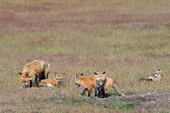 Foxes (jeff's pixels) Tags: fox kit family animal mammal cute nature bird bus car plane train nikon outdoors