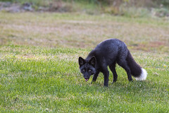 Silver Fox (Dan King Alaskan Photography) Tags: redfox fox silverfox blackfox vulpesvulpes rare wildlife protectwildlife preservewilderness interioralaska alaska canon80d sigma150600mm