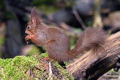 Écureuil roux ( Sciurus vulgaris ) (jean-lucfoucret) Tags: nikon z7 nikonz7 nikkor200500f56 nikkor 200500f56 écureuil roux animal rongeur bois forêt faune squirrel eichhörnchen ardilla wildlife wood forest ginger