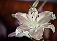 lelie (delnaet) Tags: lily lelie bloem fleur flower blume fantasticnature