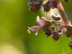 """Tulsi / Basil Flower"" Hidden Beauty Have Caught In The Photography! (Sheuli Hossain) Tags: flower nature tulsiflower basilflower"