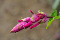 Flowers-F9240067 (tony.rummery) Tags: closeup cornwall em5mkii mft macro microfourthirds nationaltrust omd olympus penwith pinkflower tregnwainton penzance england unitedkingdom
