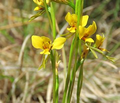 Diuris flavescens 9 (Barry M Ralley) Tags: kiwarrak state forest new south wales australia woodland plant australianorchids australian orchid species orchids ausorchid orchidaceae terrestrialorchids terrestrialorchidsorchid diuris flavescens pale yellow doubletail or wingham