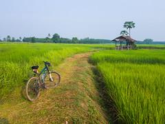 Rice paddies 6e (SierraSunrise) Tags: thailand isaan esarn phonphisai nongkhai rice paddies paddyrice farming agriculture grain bicycle