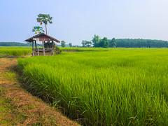 Rice paddies 3e (SierraSunrise) Tags: thailand isaan esarn phonphisai nongkhai rice paddies paddyrice farming agriculture grain