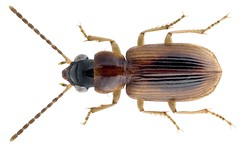 Stenolophidius pallidus (Boheman, 1848) (urjsa) Tags: coleoptera käfer beetle insect carabidae stenolophidius pallidus stenolophidiuspallidus senegal africa afrika taxonomy:binomial=stenolophidiuspallidus taxonomy:family=carabidae taxonomy:genus=stenolophidius taxonomy:species=pallidus geo:country=senegal coleopteraus kaefer insekt