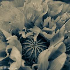 La nuit toutes les fleurs sont grises. 09 (letexierpatrick) Tags: fleurs fleur flower flowers floraison flou nature coeurdefleurs noir noirblanc noiretblanc black bw blackandwhite white monochrome macro proxiphotographie plante nikond7000 nikon explore