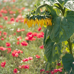 (Andrew :-)) Tags: bronicasqa zenzanons150mm35 kodakportra160 mediumformat sunflower poppies 120 6x6