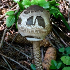 Pflück mich nicht ! / Don't pick me ! (ursula.valtiner) Tags: natur nature pflanze plant pilz mushroom pareidolia