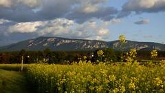 Rapsfeld / Canola (rapeseed) field (ursula.valtiner) Tags: landschaft landscape berg mountain hohewand pflanze plant raps rapsfeld rapeseed rapeseedfield niederösterreich loweraustria austria autriche österreich canola