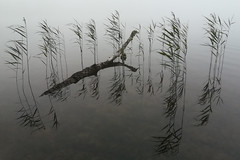 unusual summer (Mindaugas Buivydas) Tags: lietuva lithuania color summer july fog mist reed žemaitijosnacionalinisparkas žemaitijanationalpark beržoras lake minimal minimalism sadnature mindaugasbuivydas
