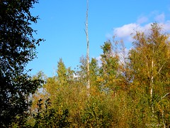 Dead birch tree (olaf_alien) Tags: dead birch tree latvia riga bolderaja daugavgrīva rīga lettland latvija olympus sp560uz olafalien blue sky clouds forest autumn nature flora yellow branches leaves