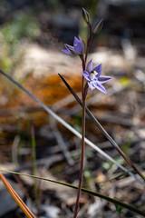 Thelymitra pauciflora complex? (Friends of Aldinga Scrub) Tags: thelymitrapauciflora orchidaceae slendersunorchid sunorchid