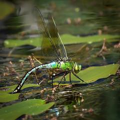Emperor Dragonfly N00139 Dob Croft D210bob DSC_9582 (D210bob) Tags: emperordragonfly n00139 dobcroft d210bob dsc9582 nikond7200 naturephotography naturephotos nikon nikon200500f56 wildlifephotography insectphotography lancashire nikond610
