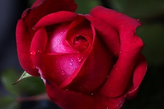 Wet red rose (Michael Schönborn) Tags: nx500 samsung nx50200f456 flower focusstacking stacked rose red wet raindrops