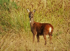 Roe Deer Stare..x (Lisa@Lethen) Tags: roe deer stare nature wildlife animal scotland field reeds red