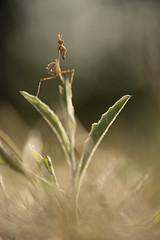 Empusa pennata (Daniel Trim) Tags: mantis mantid empusa pennata france insect european cone head praying meadow dordogne palo conehead arthropod preying eymet mantids