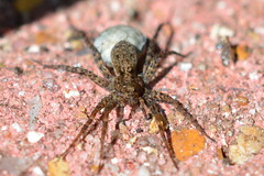 Is it ok to come out now! (suekelly52) Tags: spider sac web wolfspider garden arachnid arachtober