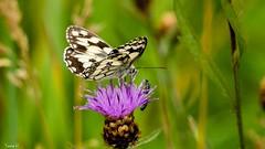 Butterfly - 7485 (✵ΨᗩSᗰIᘉᗴ HᗴᘉS✵78 000 000 THXS) Tags: flower flora butterfly papillon nature macro belgium europa aaa namuroise look photo friends be yasminehens interest eu fr party greatphotographers lanamuroise flickering