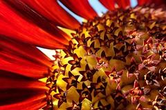 Inside a red sunflower (libra1054) Tags: inside dentro girasoli girasoles girassóis girasols tournesols sonnenblumen sunflowers zonnebloemen red rojo rosso rouge rot vermell vermelho rood macro