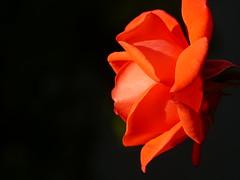 Rose Orange (gerrygoal2008) Tags: flowers orange flores flower color floral fleur colors rose fleurs rosa colores naranja couleur flore light luz bokeh