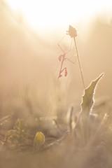 Empusa pennata (Daniel Trim) Tags: empusa pennata mantis mantid mantids insect arthropod france dordogne eymet meadow preying praying european conehead cone head palo
