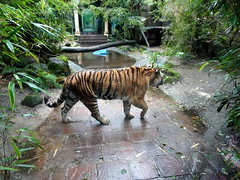 amersfoort_6_018 (OurTravelPics.com) Tags: amersfoort siberian tiger city antiquity dierenpark zoo