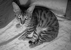 (kuuan) Tags: voigtländerheliarf4515mm manualfocus mf voigtländer15mm aspherical f4515mm superwideheliar apsc sonynex5n bw saigon hcmc vietnam cat look eyes ears