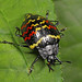 Zigzag Fungus Beetle - Erotylus incomparabilis, Cayambe Coca Ecological Reserve, Ecuador