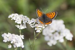 Kleiner Fuchs (Aglais urticae) - Small tortoiseshell (heinrich.hehl) Tags: natur fauna schmetterling kleinerfuchs blüten herbst makro macro autumn blossoms smalltortoiseshell butterfly nature