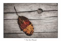 Autumn Art (SonjaS.) Tags: herbst autumn crazytuesday leaves art fall blatt herbstblatt kunst farben colors sonjasayer canon6dmarkii