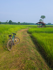 Rice paddies 5e (SierraSunrise) Tags: thailand isaan esarn phonphisai nongkhai rice paddies paddyrice farming agriculture grain bicycle