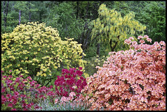 11th of May 2019 (Paul of Congleton) Tags: may 2019 derwentwater cumbria lakedistrict england uk rhododendrons azaleas garden flowers olympus om4ti 35mm colour negative film