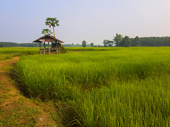 Rice paddies 1e (SierraSunrise) Tags: thailand isaan esarn phonphisai nongkhai rice paddies paddyrice farming agriculture grain