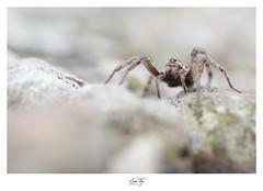 """ Spider mum "" (the world of collembola) Tags: spider araignée arachnid occitanie sun tiky suntiky"